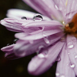 naturephotography macrophotography flowerpower wpppurple dropsofrain
