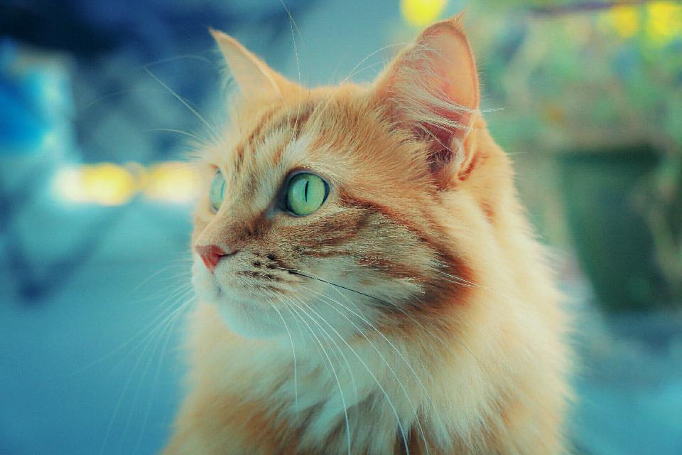 #dpccats #cat #I❤Cats #😻 #samantha  #orangecat #cute #kitty #FreeToEdit