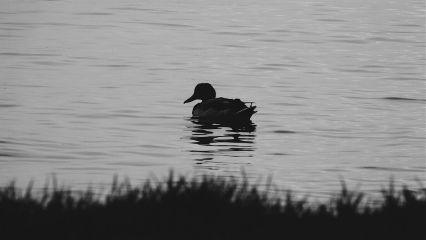 duck blackandwhite monochrome water naturephotography