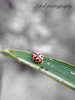 iphonephotography macro colorsplash ladybug green