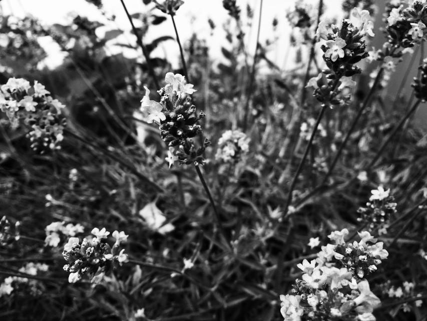 #lavendel #schwarzweiß #nature #photography